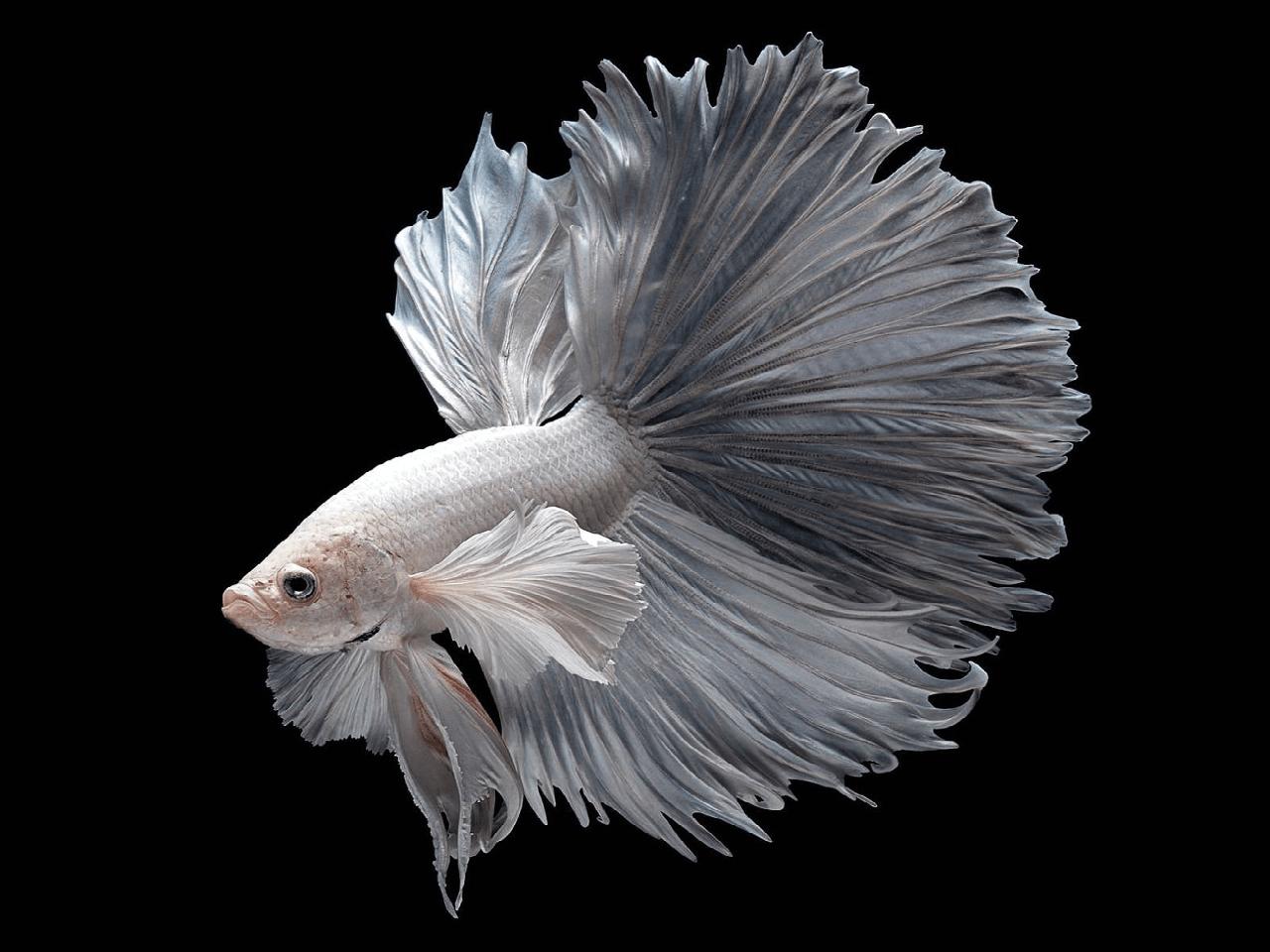 Witte Betta vis